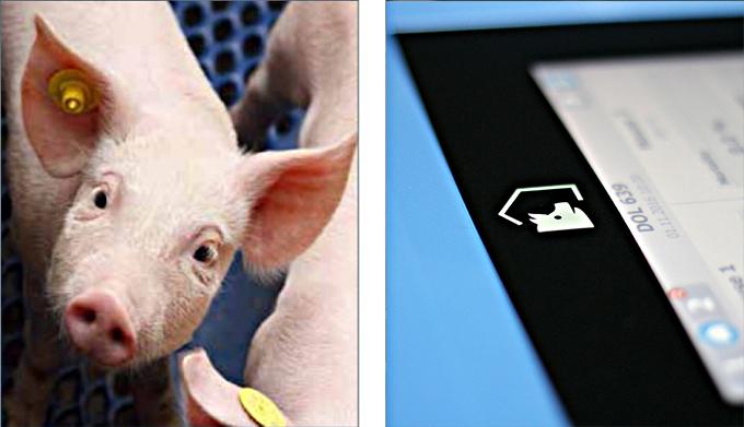świnie ProGrow